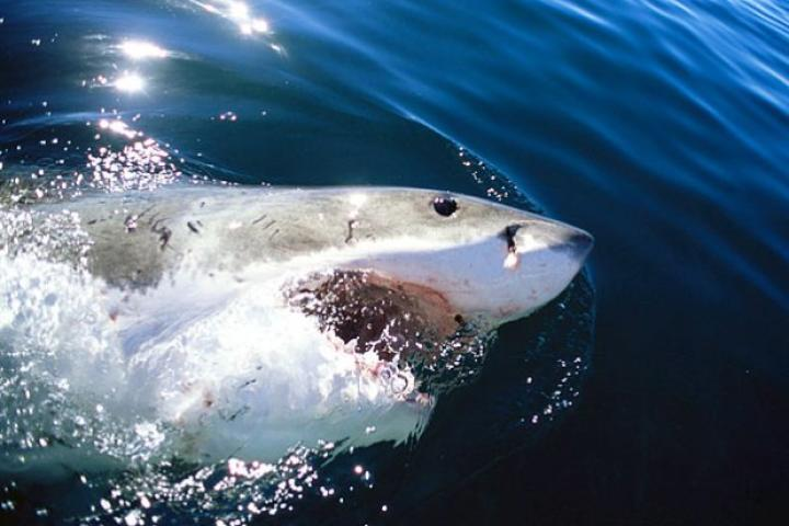 Great white shark (Carcharodon carcharias) surfacing, mouth open. Indian Ocean, Dyer Island, South Africa.