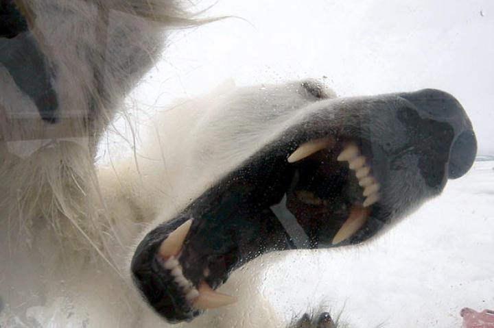 Gordon's view from inside the Ice Cube of a Polar Bear's teeth.