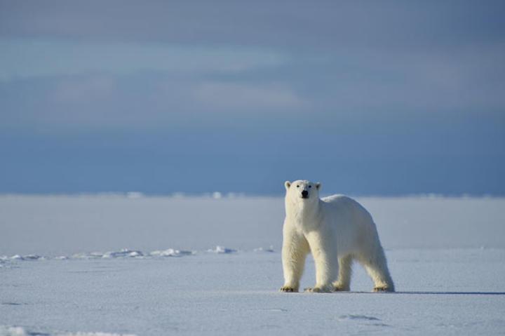Polar Bear scents the crew.