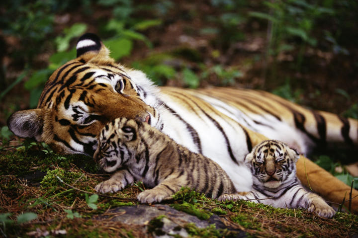 tiger cubs snuggling with mom