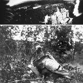 Carrier pigeons had long been used before this one was equipped in the