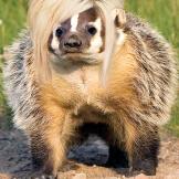 Long Island Badger