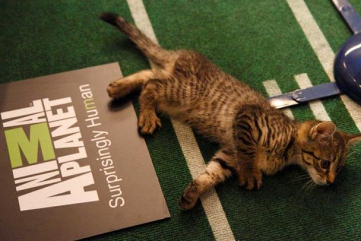 A halftime kitten enjoys some rest before the big show.