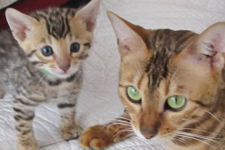 Bengal kitten with mom