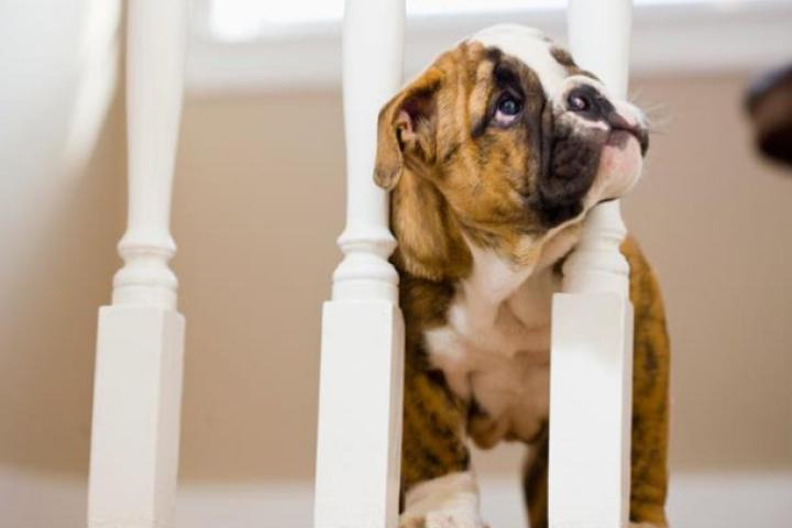 A Bulldog puppy checks things out atop the stairs.