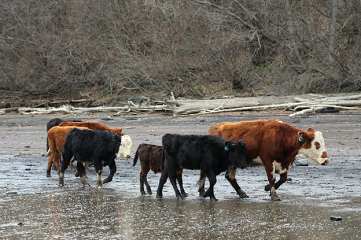Several cattle trekking along the shoreline during the drive to the head of the bay.