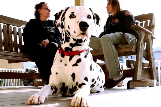 The people in the background are Maureen Haskell and Dawn Haskell-Carbone.  Timmy, Tommy, and Kenny Haskell were destined to join their family's business -- the NYFD. When their dad died, Timmy moved back in with his mother, Maureen, and he decided he wanted dog -- a Dalmatian named Blaze. He and Blaze were soul mates. On the morning of 9/11 all three brothers responded to the scene. Timmy and Tommy were in the towers when they fell. Maureen lost two sons. Completely devastated, the family leaned heavily on Blaze, trying to hold onto anything that reminded them of their sons.  Blaze's unconditional love helped the family celebrate the lives of their hero sons rather than dwell on the way they died.  Pictured are Maureen Haskell and Dawn Haskell-Carbone with a Dalmation who resembles their beloved Blaze, who passed away in 2006.