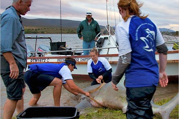 The bull shark is released back into the Zambezi River, home to hippopotamuses and crocodiles.