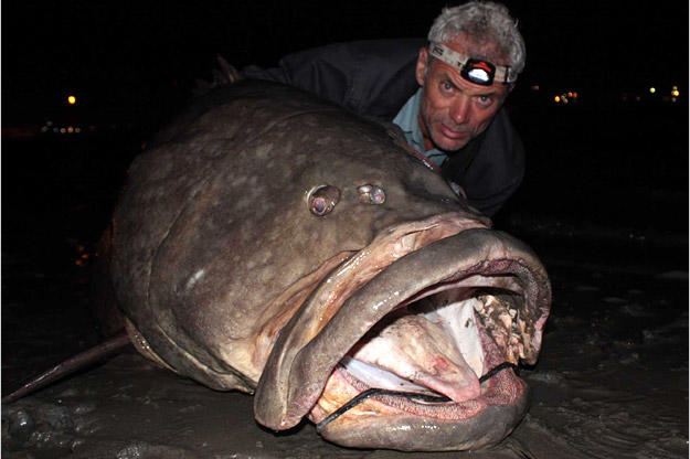 The gallery for --> River Monsters Goliath Grouper