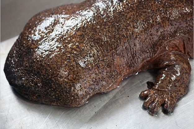 The Japanese giant salamander is the second largest salamander in the world, after the Chinese giant salamander. It grows to around five feet in length.