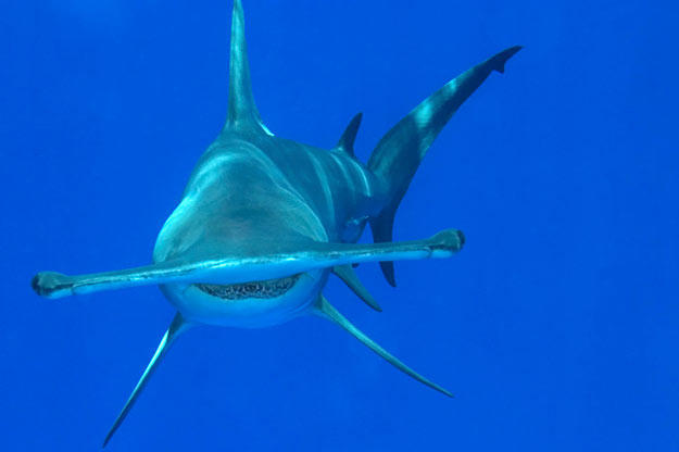 """A great hammerhead shark in the northern Bahamas. The hammerhead's peculiar, flattened head is called a """"cephalofoil."""" It's not entirely clear why the shark's head is shaped this way. One possible reason is that it spreads the shark's sensory organs out, enhancing the shark's senses of smell and electroreception. The winglike head may also help with lift and maneuverability in the water."""