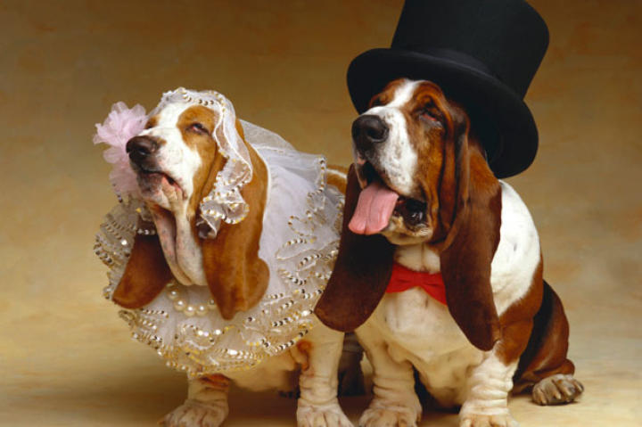 A Basset hound bride and groom