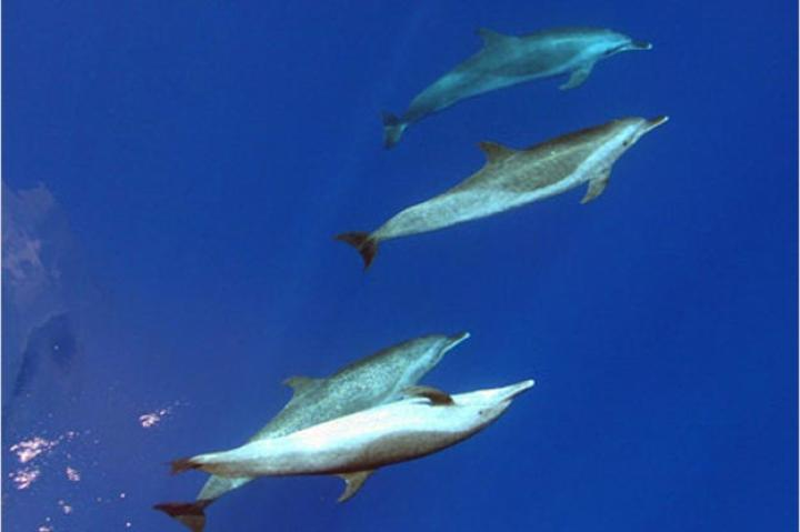 Pantropical Spotted Dolphins  (Stenella attenuata)  Spotted dolphins are the second most common of all the oceanic dolphins. They are found in tropical and sub-tropical oceans and are often mistaken for bottlenose dolphins. Spotted dolphins often travel with schools of yellow-fin tuna, which can be dangerous for them. Between the 1960's and 1970's, fishermen often used purse seine nets to catch tuna, capturing spotted dolphins incidentally in the process. In 1972, the United States enacted regulation laws in order to prevent the killing of spotted dolphins by tuna fisheries. Pantropical Spotted Dolphins are currently being killed in dolphin drives in Japan.
