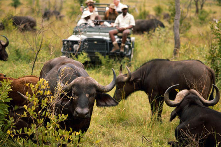 Humans are the Cape buffalo's biggest threat. A herd of Cape buffalo can become extremely dangerous when threatened.