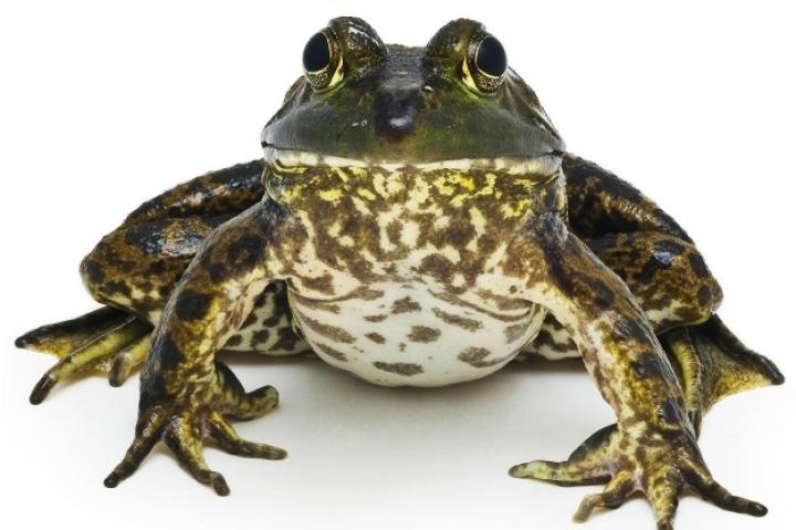 "In his new book ""Curious Critters,"" David FitzSimmons gives us a unique look at some of the common animals that we can find in our own backyard. Take a look at some of the beautiful portraits he captured in his book and learn where you can pick up your own copy.   American Bullfrog"