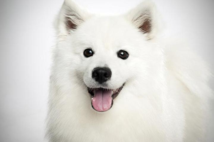 American Eskimo Dog (Standard)