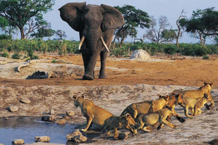 An African elephant (Loxodonta africana) approaches a lioness and her cubs.