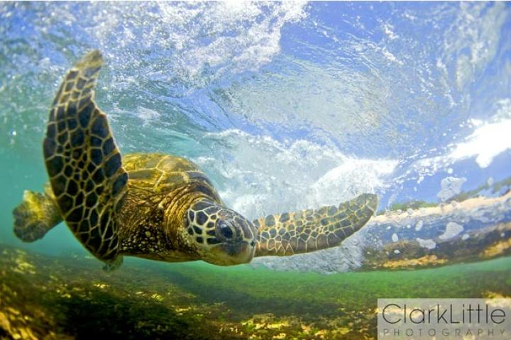 Clark Little, the surfer-turned-photographer behind The Most Beautiful Waves...Ever is back -- this time he captures the secret lives of Hawaiian green sea turtles, producing stunning, underwater photos that earned him an Windland Smith Rice International Award for nature photography.   This photograph will be exhibited at Smithsonian National Museum of Natural History in Washington, D.C. April 16 to September 25 -- read on for more of Little's favorite sea turtle shots, and descriptions in his own words.   And if you're in Hawaii, you can see the images in person at Little's new gallery in Haleiwa. Click here to see Clark Little's Web site.
