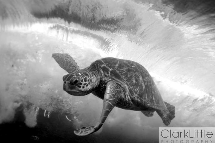 "Honu in Black and White Sea turtles are becoming endangered -- and extinct -- at an alarming rate; a recent report named them as the world's most endangered vertebrates. Want to help? Planet Green put together a few ways you can lend a hand to groups protecting sea turtles.   ""The green turtle, Chelonia mydas, is listed as endangered by the International Union for the Conservation of Nature,"" says Little. ""In 1978, the Hawaiian population of the green turtle was listed as threatened under the U.S. Endangered Species Act of 1973."""
