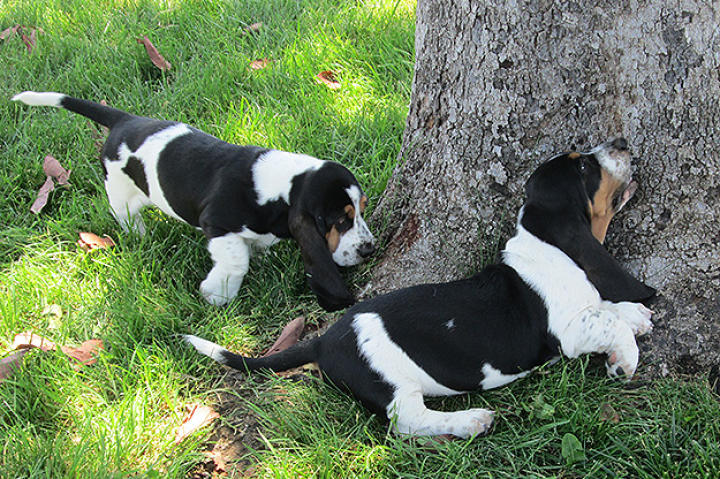 These Basset Hound puppies are sniffing something out.