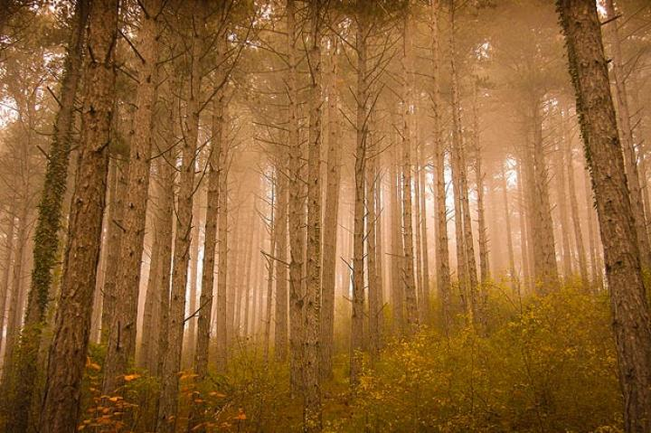 Mystical Forest. Photo taken on a foggy day at sunrise in a pine forest. Constant Couteille, France