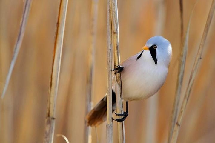 Bearded Tit. The Bearded Tit is one of the most beautiful birds in Europe. I took this image at Dragoman Marsh, one of the few Natura 2000 sites in Bulgaria where this species stays throughout the year. Svetoslav Spasov, Bulgaria