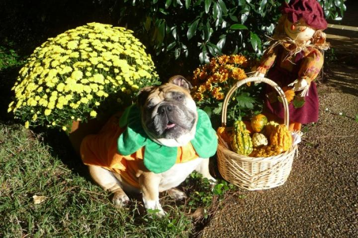 Abby is an English Bulldog who loves to play dress-up. (From Allison H.)