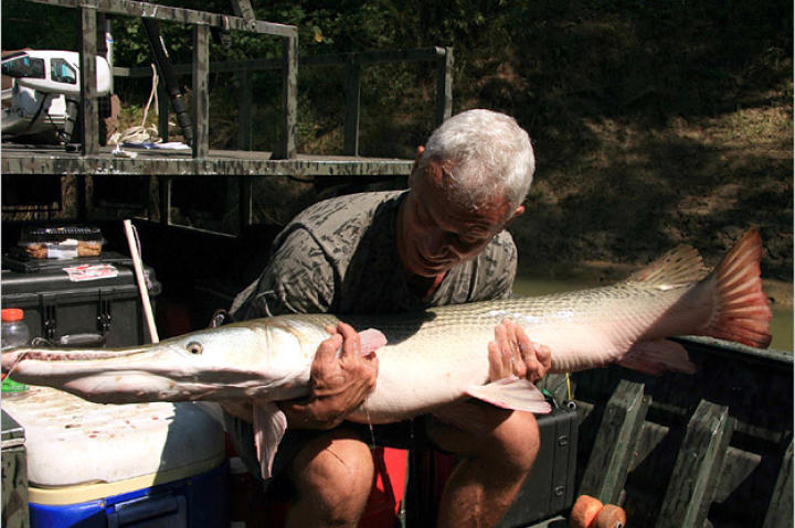 Alligator gar, like all fish, should be put back into the water as soon as possible. Once the fish can hold itself upright and propel itself unaided, it can be released.