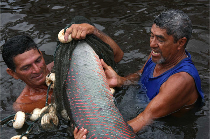Although protected, the arapaima continues to be heavily overfished in the Amazon. The fish are penned in, then driven into nets and harpooned.