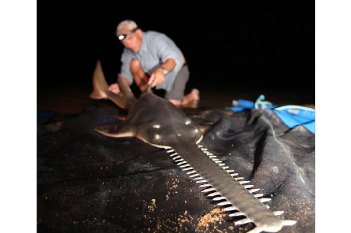 A sawfish on the hunt will swing its blade from side to side to separate invertebrates from the surfaces they live on, and to stun schools of fish. They also like to eat freshwater prawn and shrimp.