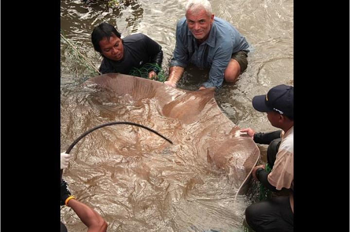The stress of the capture caused this giant freshwater stingray to give birth to several live young. This marks the first time scientists have been able to collect data from the fully-formed pups of this species.