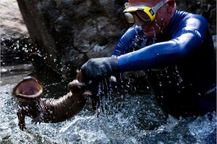 Jeremy Wade uses protective gloves to capture a Japanese giant salamander. The gloves are necessary so that the salamander doesn't slip out of his hands or inflict a painful bite!