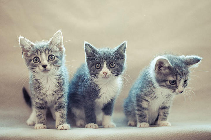"Unlike the ""cast"" of our first kitten cam production, the Simpsons actually are littermates...found as strays on the streets of our nation's capital."