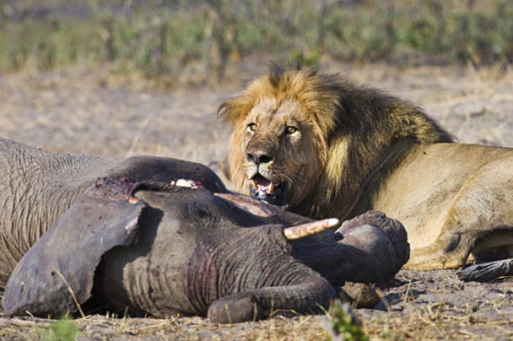 Encounter between African elephants (Loxodonta africana) and an African lion (Panthero leo) in Masai Mara, Kenya.