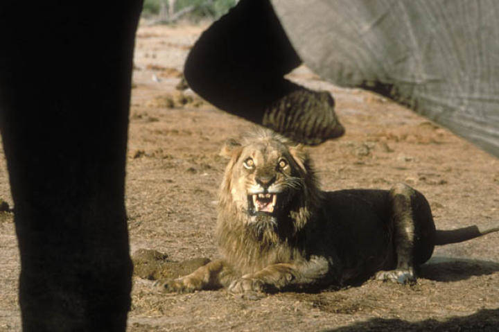 A male African lion (Panthera leo) growls at African elephants (Loxodonta africana) in Serengeti National Park, Tanzania.