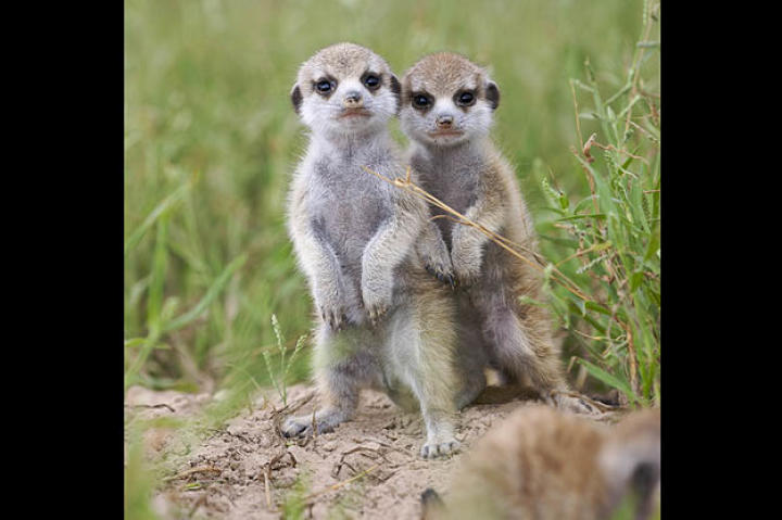 Commando pups (oh those adorable meerkat babies!)