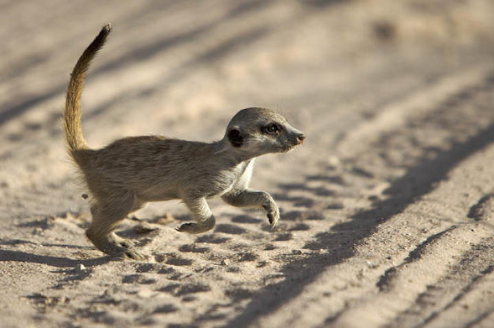 A meerkat baby (Whiskers pup).