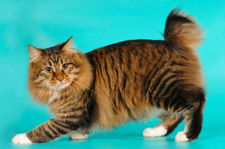 """American Bobtail While the breed is still developing, breeders say that Bobtails are playful, energetic, and friendly, and possess an uncanny intelligence for Houdini-type escapes from closed rooms and fastened cages. Very people-oriented, they are not above demanding human attention by meowing or commandeering available laps.  On the cat activity scale (with, perhaps, the Persian as a serene """"1"""" and the Abyssinian as an animated """"10""""), the Bobtail rates a 7 or 8 -- fun-loving and frisky but not overactive.   Learn more about the American Bobtail. Check out our Cat Breed Directory."""