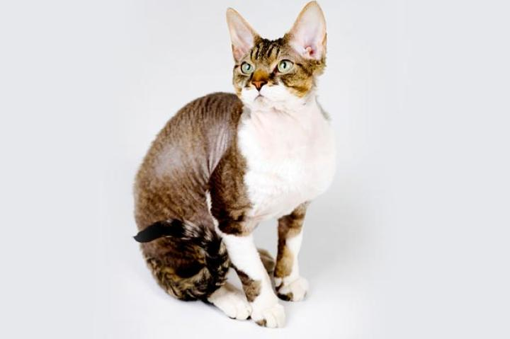 """Devon Rex Devons have been compared to pixies, elves, and, of course, space aliens for their jumbo-sized satellite-dish ears, large, mischievous """"window-to-the-soul"""" eyes, and ethereal appearance. Fanciers laud the """"poodle cat"""" (as the breed is affectionately called), as people-oriented snugglers that love nothing better than to cuddle up with you at night and wake you in the morning with hugs, kisses and purrs of affection. And since the Devon sheds less than other breeds, you can snuggle back without fear of covering yourself in cat hair.  But there's lots of other reasons to acquire a Devon besides their coats: their loyalty, devotion, playfulness, courage, and intelligence, just to name a few of the qualities that make them a good choice for the cat-obsessed. Devons are shoulder perchers, lap sitters, tail waggers, and retrievers of tossed cat toys. They have a well-developed sense of curiosity and want to be involved in whatever you're doing, whether it's peeling potatoes for dinner or showering for a Saturday night date.   Learn more about the Devon Rex. Check out our Cat Breed Directory."""