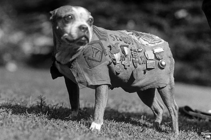Stubby the Dog Sgt. Stubby, who served with the 102nd Infantry Division and the 26th Yankee Division during World War I, was one of the most famous war dogs in U.S. history. Stubby served 18 months in Europe, participated in 17 battles and is the only dog to receive a sergeant ranking. During the war, he warned American soldiers of incoming chemical attacks and spies and accompanied the men on raids and patrols. The canine sentry became an instant American hero and upon his return home led parades, met three presidents, and became a lifelong member of the YMCA and the American Red Cross. Stubby was also Georgetown University's mascot.