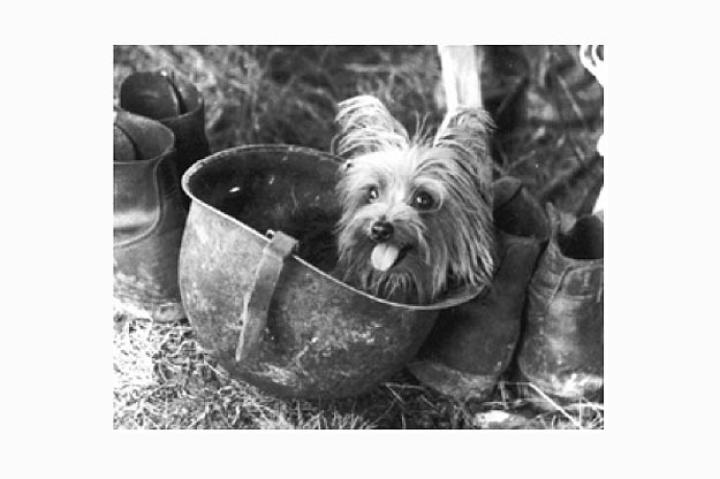 Smoky Smoky, a 4-pound Yorkshire terrier, joined America's finest during World War II. Soldiers found the little dog in a foxhole in New Guinea. Smoky is more than a war hero -- she provided comfort to soldiers in times of adversity. While her size might make her seem dainty, Smoky survived 12 combat missions, 150 air raids and a typhoon in Okinawa. In addition, she entertained soldiers with tricks and was one of the first therapy dogs.