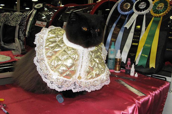 A beautifully groomed Persian cat.