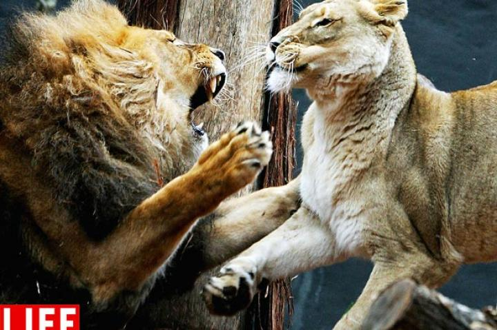 African lion Jambo fights with female Kuchani at the 2006 opening of a savannah-themed makeover of the lion enclosure at Taronga Zoo in Australia.LIan Waldie/Getty ImagesSee more photos from this collection at LIFE.com.