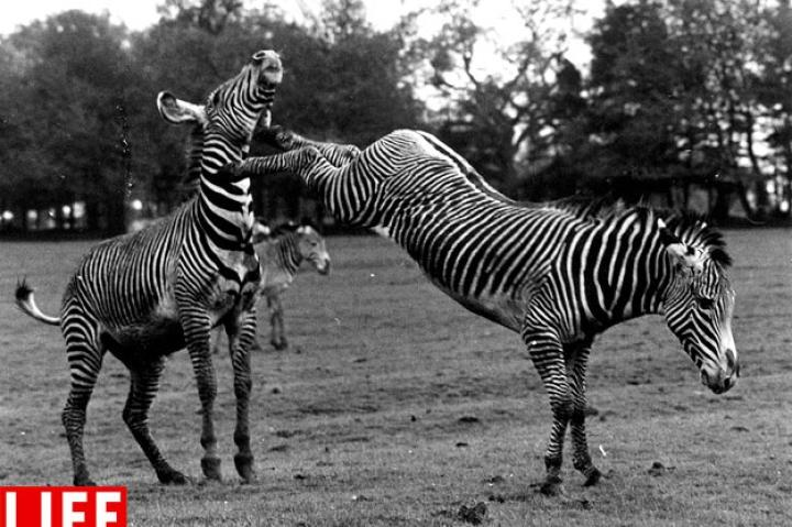 Zebra Becomes a Pain in the Neck, 1961William Vanderson/Getty ImagesSee more photos from this collection at LIFE.com.
