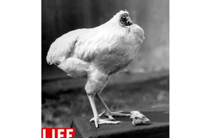 "Mike the Headless Chicken. This is not a hoax: Following a non-lethal decapitation, Mike the headless chicken, later nicknamed ""Miracle Mike,"" lived for approximately 18 months. Seen here in 1945, a little over one month after the beheading, Mike's body poses with his head. Bob Landry/Time & Life Pictures/Getty ImagesSee more photos from this collection at LIFE.com."