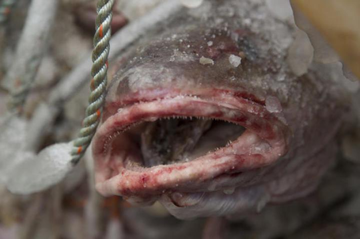 A bait fish.