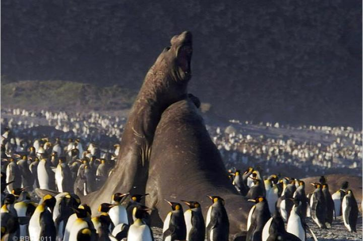 Elephant seals battle among king penguins.