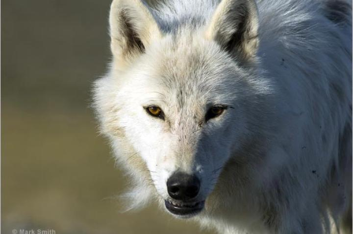 An Arctic wolf on Ellesmere Island, Canada.