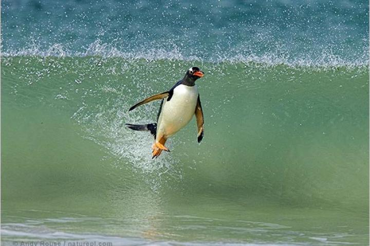 Gentoo penguin surfing on a wave.