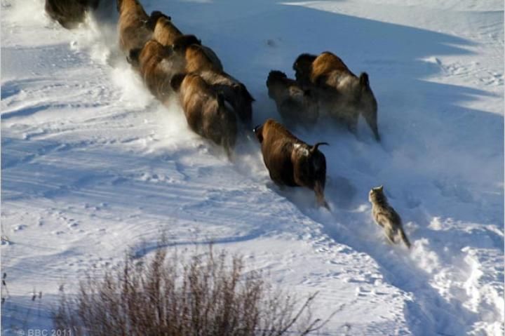 A northern gray wolf chases bison.